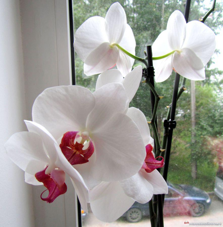 Любимая орхидея